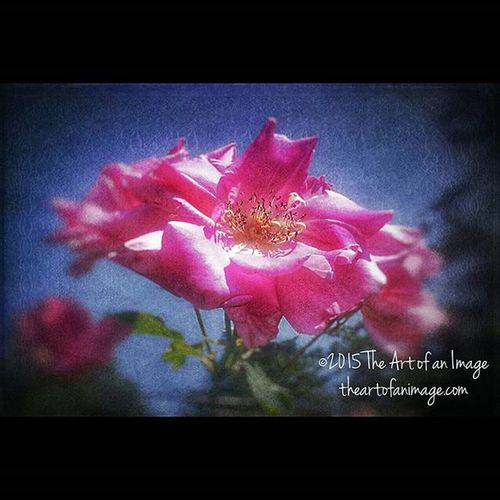 """""""As I Went Out One Morning"""" August 2015 ☮ www.theartofanimage.com NY Eastend Newyork Southshore newamsterdam longisland suffolkcounty roadside sunny pink bohemian floral flowers summer august picturesque instagood bestoftheday roadsideamerica picoftheday poetry meditation peaceful artist art artsy coralpink dreamy hazy theartofanimage"""
