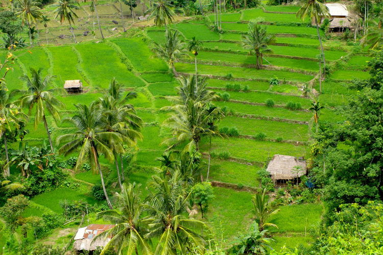 Aerial view of Desa Senaru rice terrace located in Lombok island Indonesia. Agriculture Banana Tree Beauty In Nature Coconut Trees Crop  Day Desa Senaru Field Green Color Growth Landscape Lombok-Indonesia Nature No People Outdoors Palm Trees Plant Rice Terraces Rural Scene Scenics Tree
