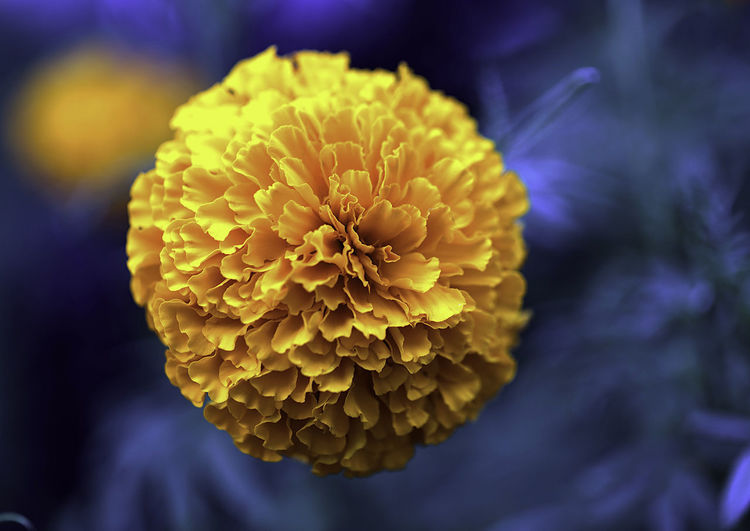 Yellow Flower Beauty In Nature Blooming Close-up Day Flower Flower Head Fragility Freshness Growth Nature No People Outdoors Petal Yellow