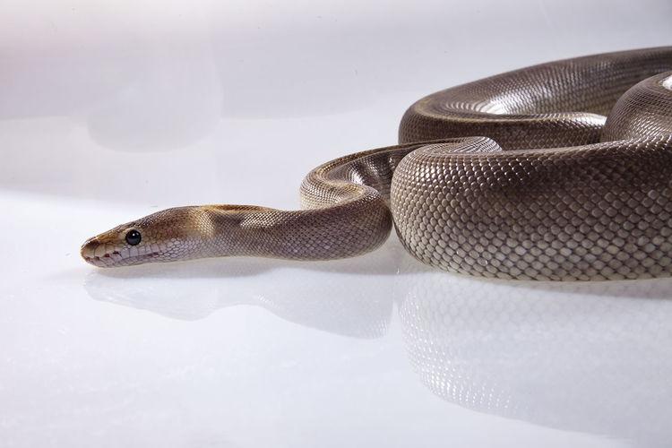chamoange morph