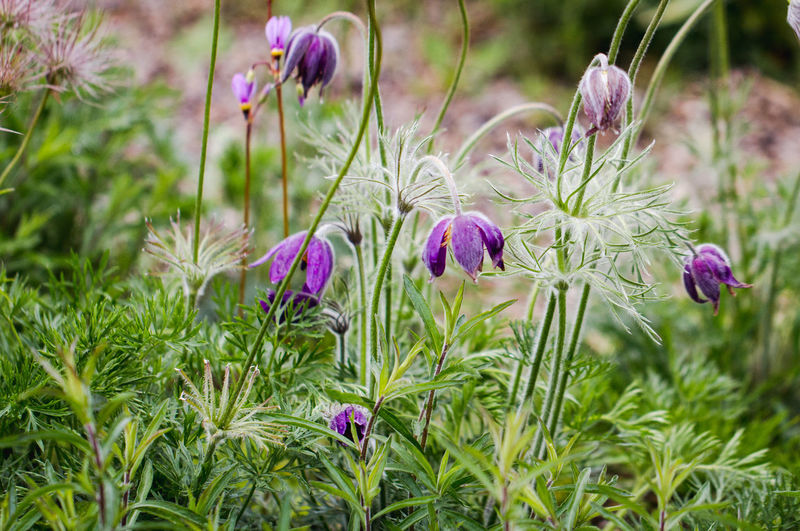 Flower Wildflower Plant Growth Nature Purple Perennial Prairie Crocus Easter Flower Wind Flower Pasqueflower Meadow Anemone Pasque Flower Floral Flora Flower Head Outdoors England Uk Uncultivated Breathing Space
