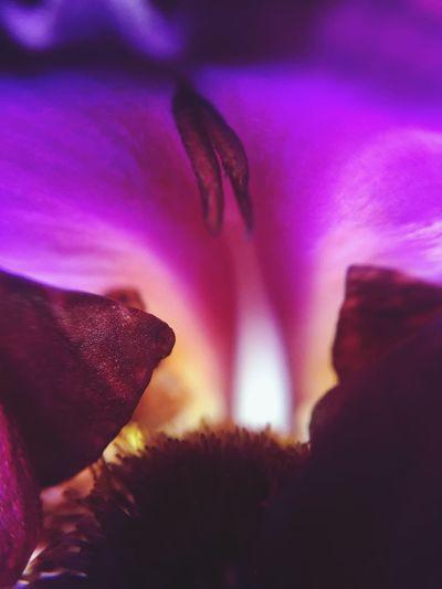 Georgia Okeefe EyeEmNewHere Garden Black Iris Pistil And Stamens Purple Flower Flora Complementary Colors Petals Purple Petals