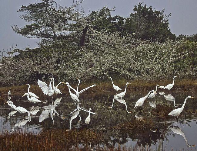 Bird Photography GreatEgret Egret Egrets Snowyegret Birds_collection Birds Of EyeEm  Reflection Reflection_collection Reflections In The Water Birds In The Water Water Bird
