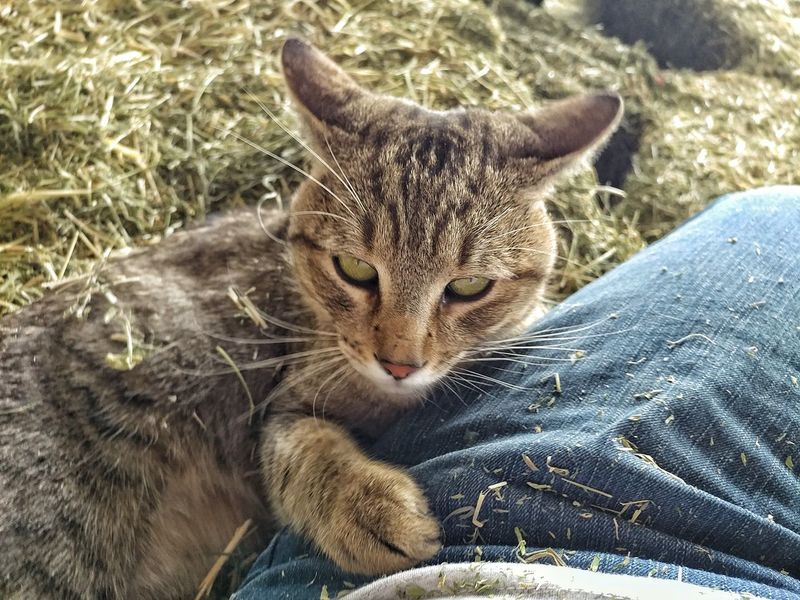 Domestic Animals Pets Mammal Animal Themes Domestic Cat One Animal Feline Day Outdoors Close-up Hay Barn Sam Rescuecat Love♥ Cat Lovers Cat Eyes Nature Duncan, Arizona, United States New Friend!