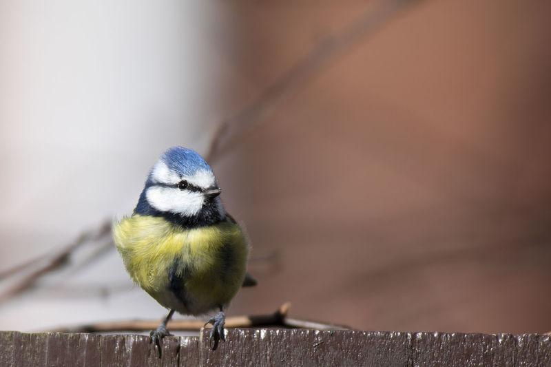 Blue tit on garden fence