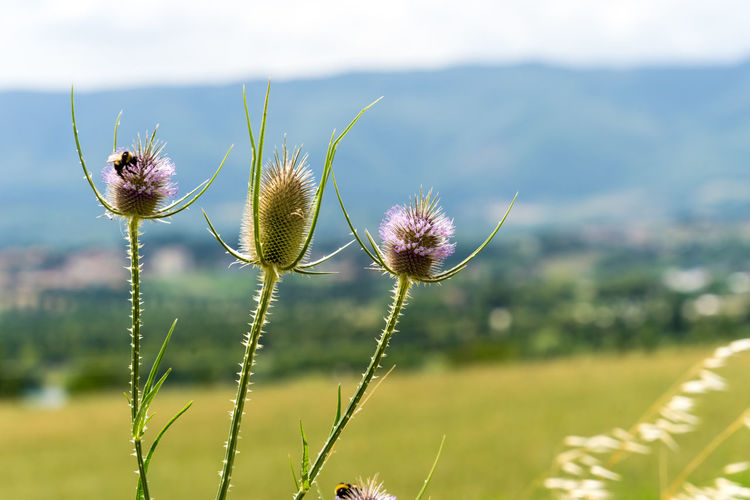 Nature Summer Italy Tuscany Plant Flower Flowering Plant Beauty In Nature Focus On Foreground Fragility Vulnerability  Close-up Freshness No People Day Flower Head Inflorescence Thistle Green Color Plant Stem Outdoors Pollen Sepal Purple Beauty In Nature Growth Field Land