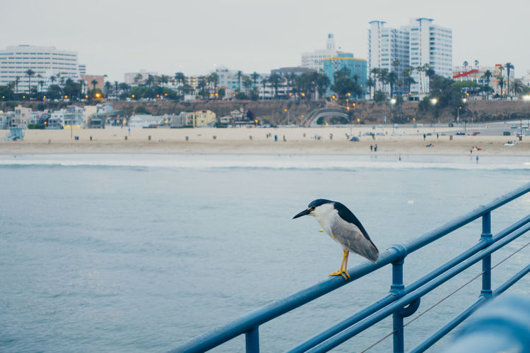 Black-crowned night heron perching on pier railing over sea by city