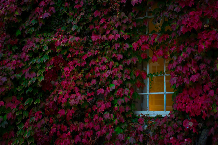 Pink flowering plants growing against wall