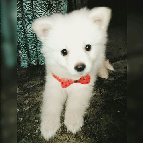 Mypet Loveyou Awww So Cute <3 Bow Woof ! Handsome Lilbuddy Sweet Click Click 📷📷📷