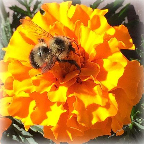 Humble Bumble My Backyard Flowers Bumble Bee