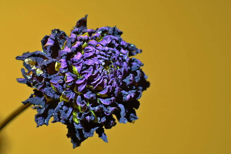 Close-up of purple flowering plant against yellow background