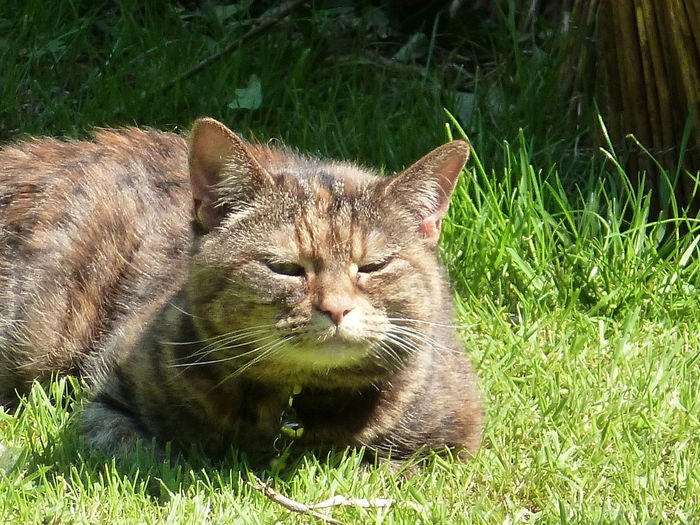 Queenie, Chilling In The Garden... One Animal Animal Themes Grass Domestic Cat Day Outdoors Nature