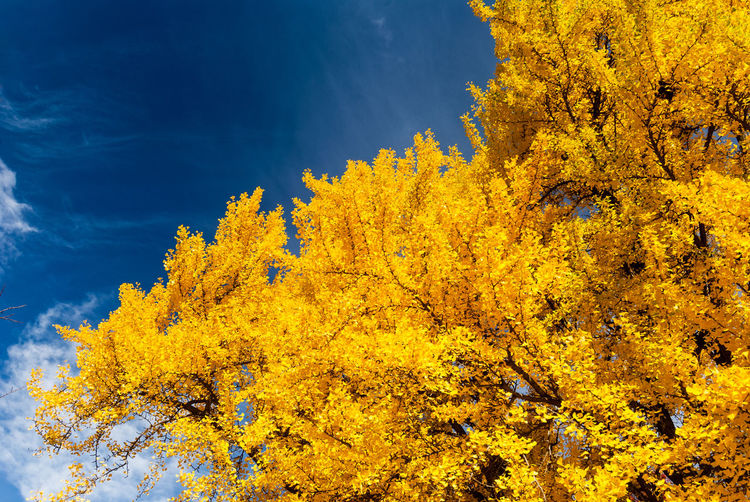 Yellow fall