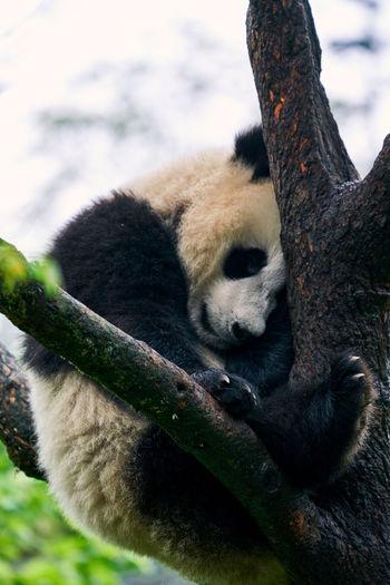 Panda sleeping on tree