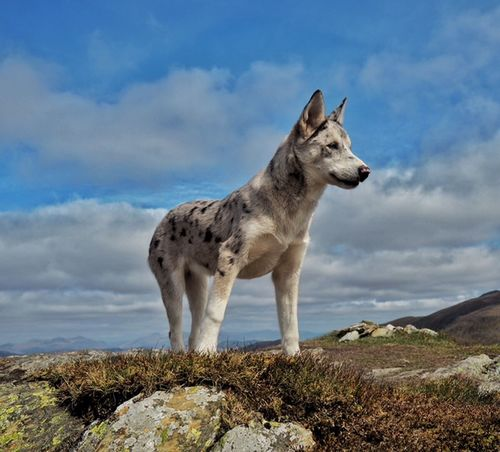 Leto, a Huskie x Collie Adventure Animal Themes Beautiful Beauty In Nature Cloud - Sky Collie Cute Day Dog Domestic Animals Full Length Grass Hillwalking Huskie Huskies Mammal Nature No People One Animal Outdoors Pets Sky Standing Stunning