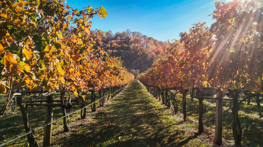One of the many vineyards in the Shenandoah area in Virginia on a crisp, clear fall day. Winery Wine Wineyard Vinyard Virginia Virginia Wines Foliage Fall Fall Beauty Fall Colors Tree Nature Beauty In Nature No People Shenandoah National Park Place Of Heart The Traveler - 2018 EyeEm Awards My Best Travel Photo