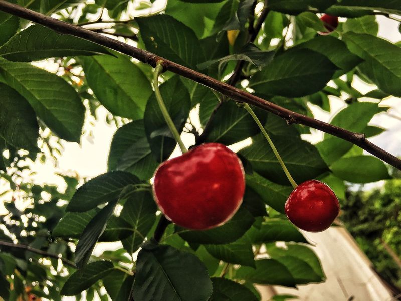 Fruit Red Food Nature Sour Cherry
