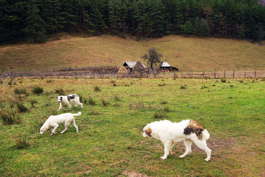 Plant Grass Land Field No People Outdoors Fold Romania Mountains And Valleys Animals In Captivity Peasant Life Country Life Remote Carpathians Landscape Landscape_Collection Landscape_photography Travel Travel Photography Autumn Fall Forest Meadow Grass Traditional