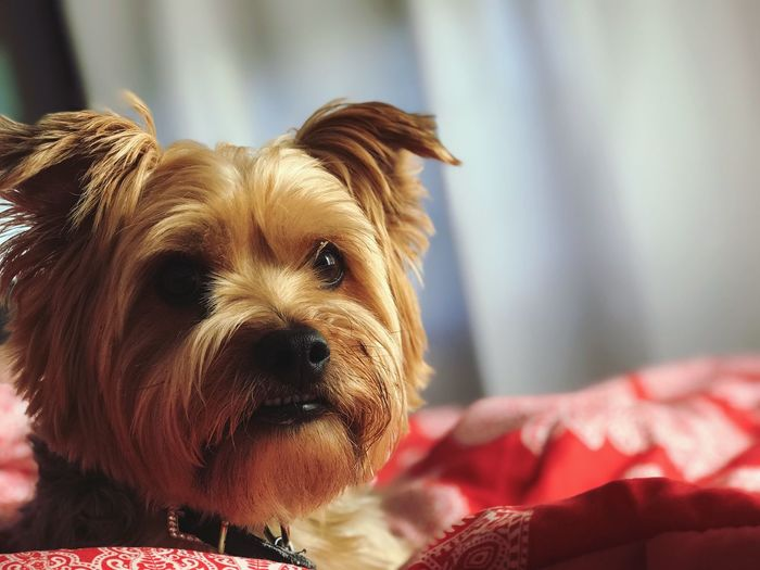 What a cute pup! Family Cut Dog EyeEm Selects Domestic Pets Animal Themes One Animal Domestic Animals Mammal Animal Canine Dog Close-up Focus On Foreground Bed Indoors  Relaxation Day Portrait Animal Head