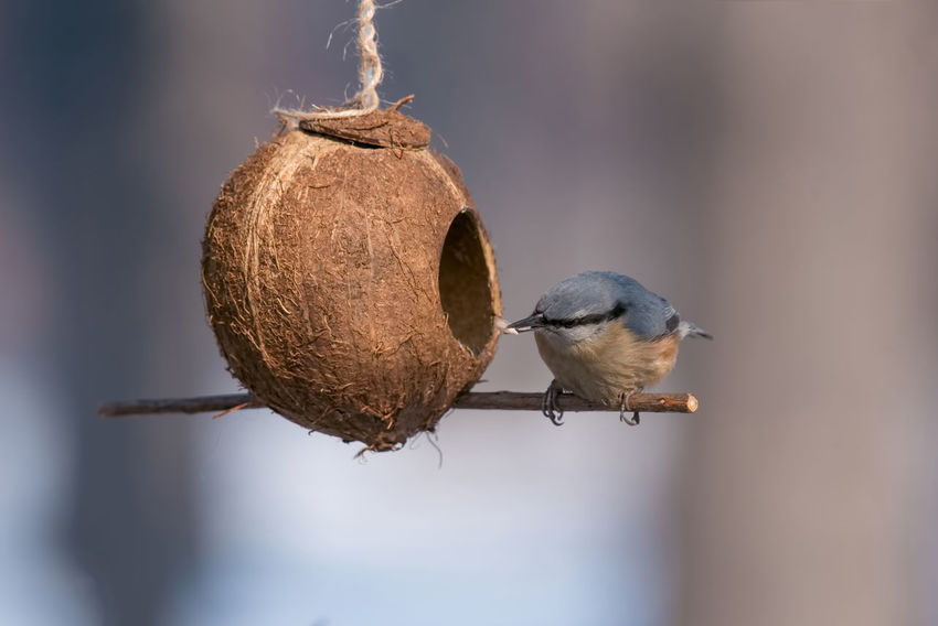 Eurasian nuthatch (Sitta europaea) taking nuts from bird feeder Sitta Europaea Animal Themes Animal Wildlife Animals In The Wild Bird Close-up Day Focus On Foreground Food Nature No People One Animal Outdoors Perching Robin Sparrow