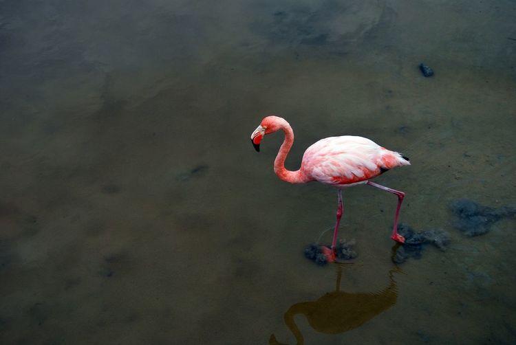 High angle view of flamingo walking at lakeshore