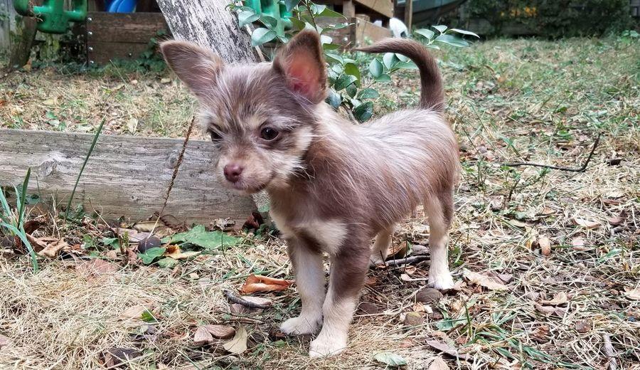 Canine Dog Lead