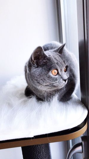 Cutie Cat British Shorthair Bkh Domestic Cat Indoors  Pets One Animal Domestic Animals Animal Themes Mammal