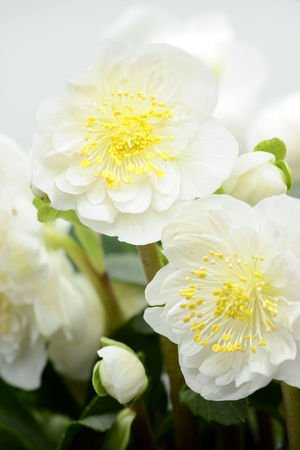 white hellebore flower blooming Hellebores Helleborus Helleborus Niger Blooming Blooming Flower Blossom Close-up Flower Flower Head Growth Hellebore Nature Petal Plant White White Color Yellow