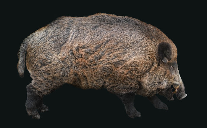Hubertus the boar Animals In The Wild Farm Animals Isolated Animal Animal Themes Animal Wildlife Animals Animals In The Wild Black Background Boar Close-up Day Isolated Black Background Mammal No People One Animal Outdoors Pig Studio Shot