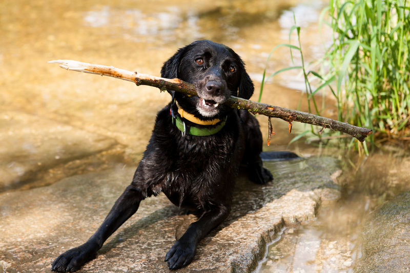 A black labrador sitting in the water having a stick in her mouth. Animal Themes Black Color Black Labrador Day Dog Dog Love Grass Labrador Retriever Nature No People One Animal Outdoors Pets Portrait Reed Reed - Grass Family Reeds Retriever River Stick Stream Summer Water