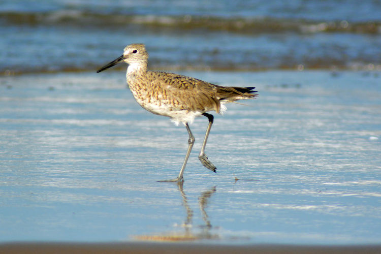 Animal Animal Themes Animal Wildlife Animals In The Wild Beach Bird Day Land Nature No People One Animal Outdoors Perching Sandpiper Sandpiper Bird Sandpiper Family Sea Selective Focus Side View Vertebrate Water Wild