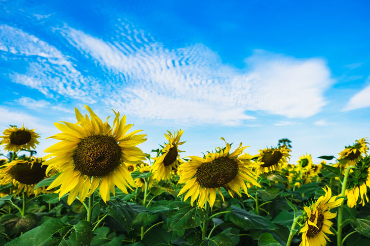 Beauty In Nature Close-up Cloud - Sky Field Flower Flower Head Flowering Plant Fragility Freshness Growth Inflorescence Land Landscape Nature No People Outdoors Petal Plant Pollen Sky Springtime Sunflower Vulnerability  Yellow