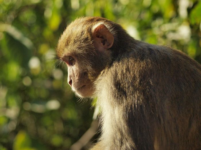 A thoughtful macaque, not given to monkeying around. Animal Wildlife Animals In The Wild Close-up Day Focus On Foreground Macaque Mammal Monkey Nature No People One Animal Outdoors Sitting Thoughtful