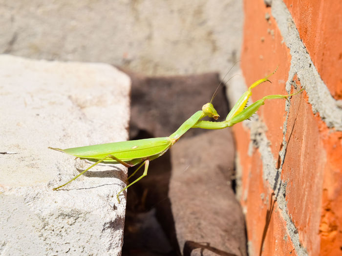 Mantis, climbing on a brick wall. The female mantis religios. Predatory insects. Huge green female mantis. Mantis Female Insect Predator Religiosa Green Spikes Mandibles Jaws Ambush Mimicry Mantid Praying Carnivore Invertebrate Background Wild Wildlife Predatory Bug Looking Nature Animal Antenna Macro Species Closeup One Crawly Female Animal Praying Mantis Biology Studio Legs Rhombodera CutOut No Creepy Invertebrata Close View Arthropod Animal Themes Close-up Themes Ecology Leaf Standing Camouflage