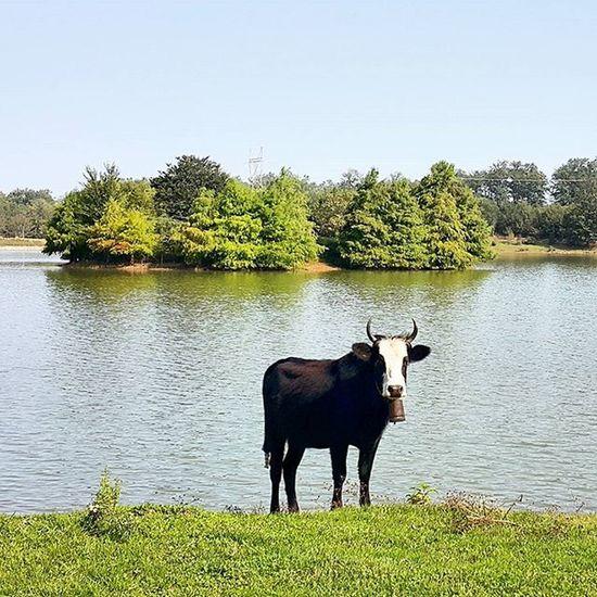 A black Cow near the Lake Mazndaran Iran مازندران ایران Naturallandscape Naturephotography Photography سد خاکی ملاکلا