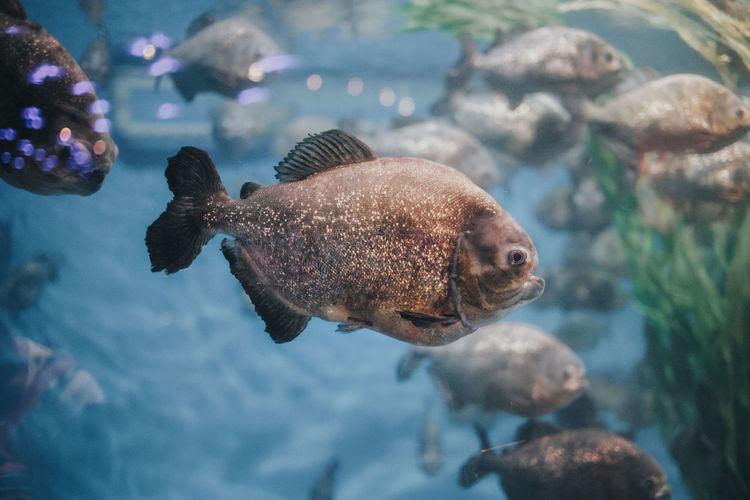 Piranha Animal
