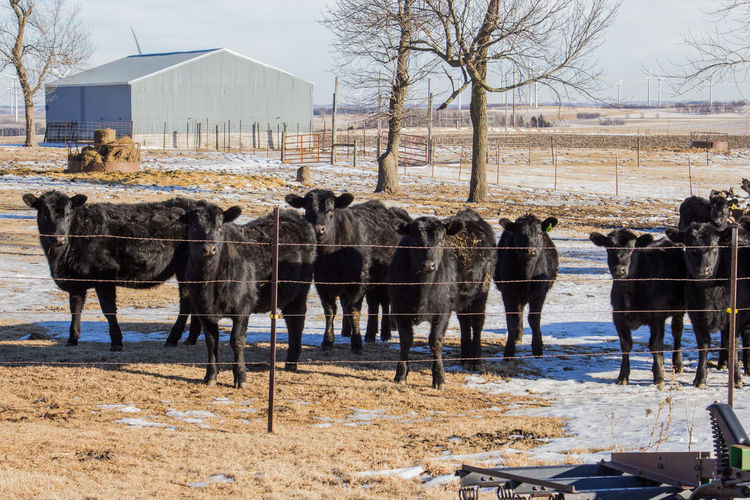 Agriculture Barbed Wire Black Angus Farm Grass Animal Bare Tree Black Canon60d Canonphotography Cattle Cattle Shed Day Domestic Animals Fence Heifer Livestock Outdoors Sky Snow Tree Winter Wire