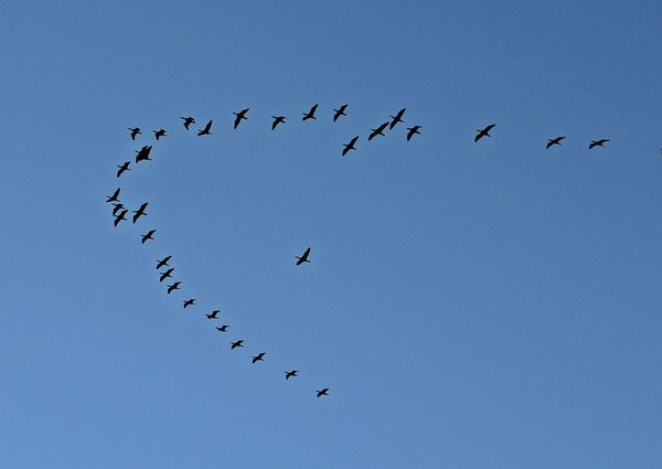 Patos volando Patos Volando Pajaros Volando Patos Large Group Of Animals Flock Of Birds Flying Bird Animals In The Wild Animal Themes Migrating