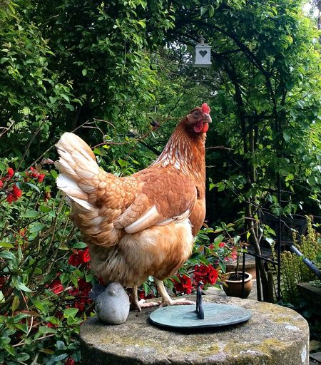 Betty Feather  Flowers,Plants & Garden Japonica Trees And Nature Cockerel Rooster Animal Crest Perching Beak