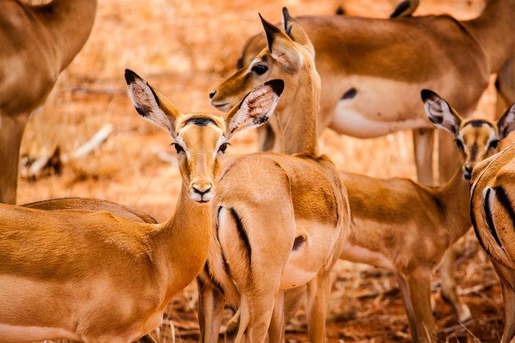 Gazelles on field at tsavo east national park