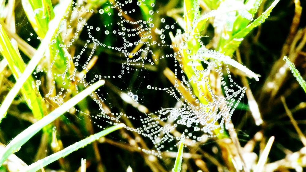Spider Web Nature Drop Focus On Foreground Close-up Beauty In Nature No People Web Wet Fragility Water Outdoors Green Color Day Droplet Grass Mornings Macro Photography Detail Grassy Beauty In Nature Green Dew Drops On Spiderweb Wow!!😋 Intricate Photography