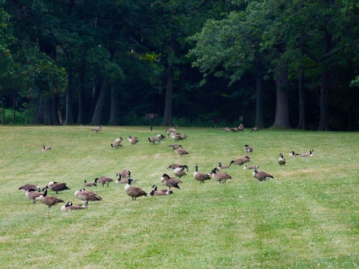 Grass Forest USA USAtrip USA Photos Fort Niagara State Park Youngstown Youngstown, Ny Animals Animal Photography Wildlife Wildlife & Nature Wildlife Photography Meadow Gooses Family Gooses Goose No People Trees Adapted To The City The Great Outdoors - 2017 EyeEm Awards