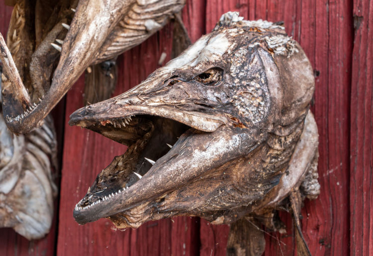 Frightening dried head of large pike with sharp teeth