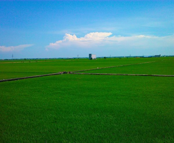 Paddy field Sekinchan, Malaysia Paddy Fields Sunnyday Sky_collection Sky And Clouds EyeEm Nature Lover Eye Em Landscape-Collection Nature Photography Naturelover