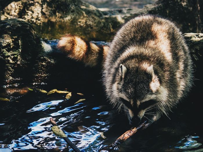 Raccoon In Water At Zoo