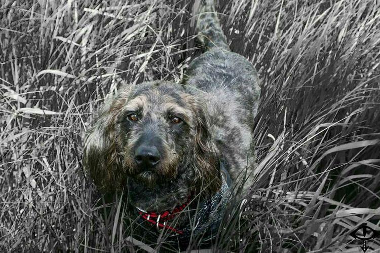 Labradoodle Dog Glasgow  Scotland Field