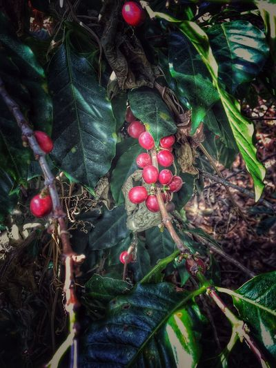 Everything gets better with coffee Seed To Cup Guatemala De La Gente Coffeeplant Coffee Leaf Food And Drink Growth Green Color Food Red Fruit Freshness Outdoors Nature Beauty In Nature