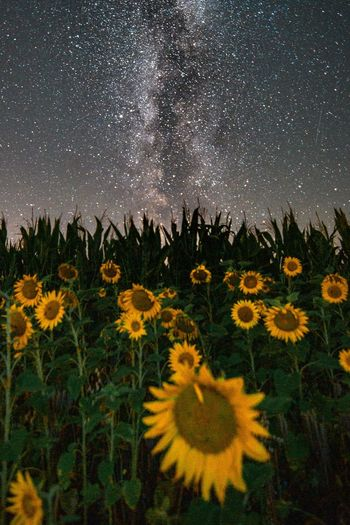 Sunflowers and the milky way