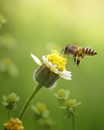 Close-Up Of Honey Bee Buzzing On Flower
