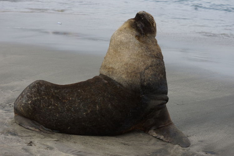 Chile Pacific Coast Animal Wildlife Nature Lover Travel Destinations Travel UnderSea Sea Life Sea Lion Aquatic Mammal Sea Water Thick Sand Beach Seal - Animal Colony